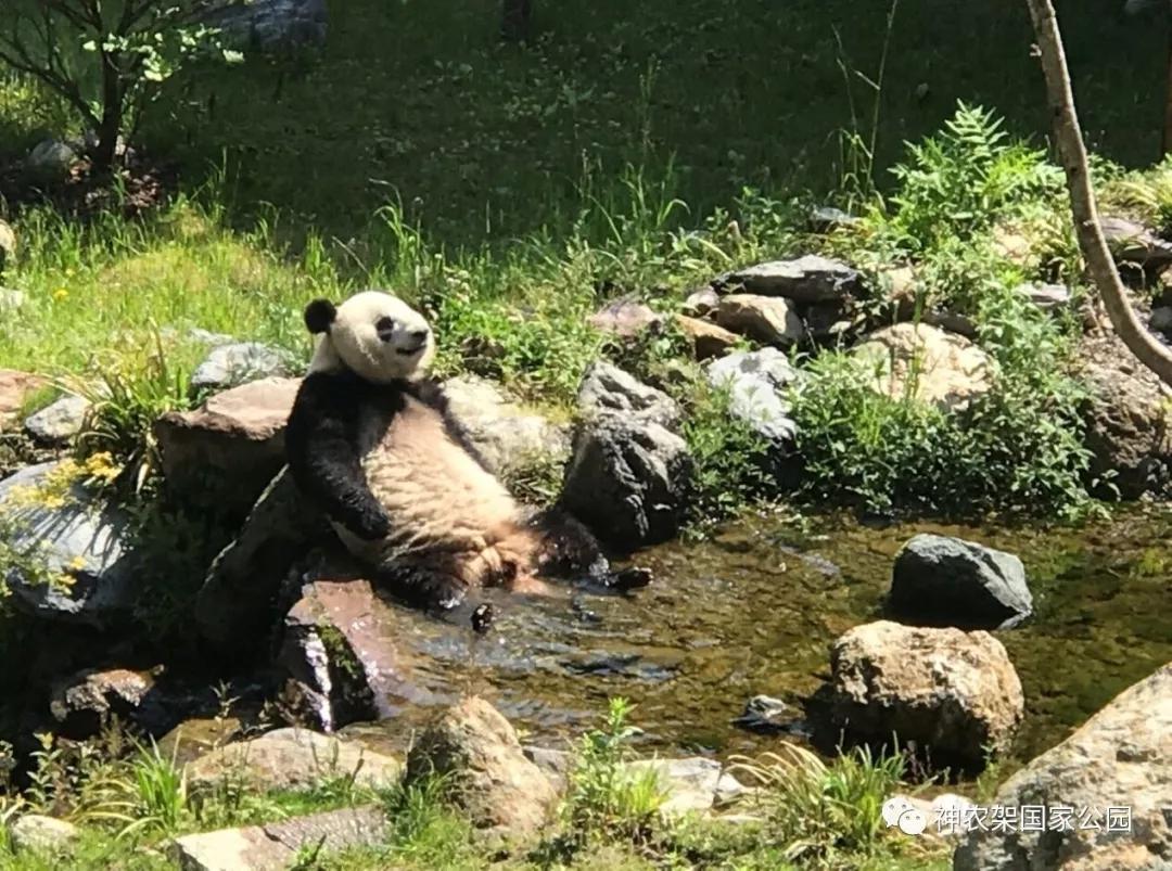 【资讯】憨态可掬!神农架大熊猫初夏开启山泉浴模式