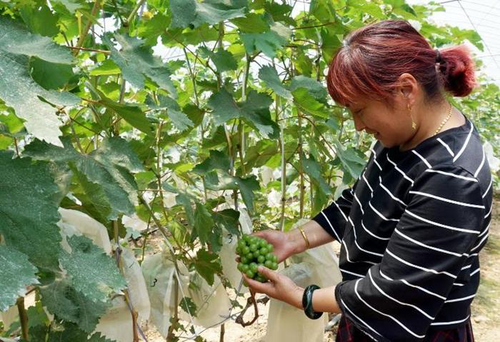 【资讯】郧阳区这里有两百万斤葡萄即将上市