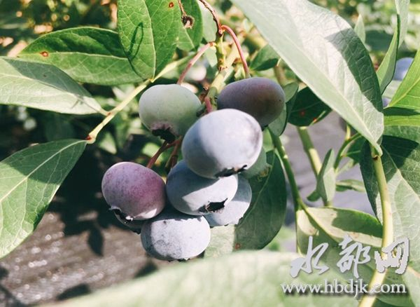 """【资讯】官山镇深山蓝莓初长成  邀您共享""""莓""""好时光"""