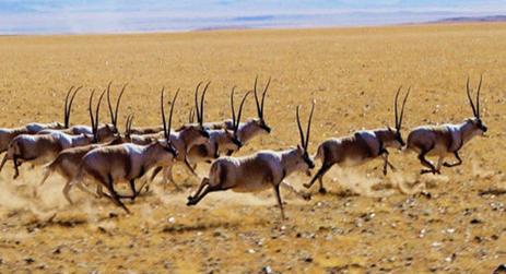 【资讯】为藏羚羊迁徙让路   西藏拆除万亩草场围栏