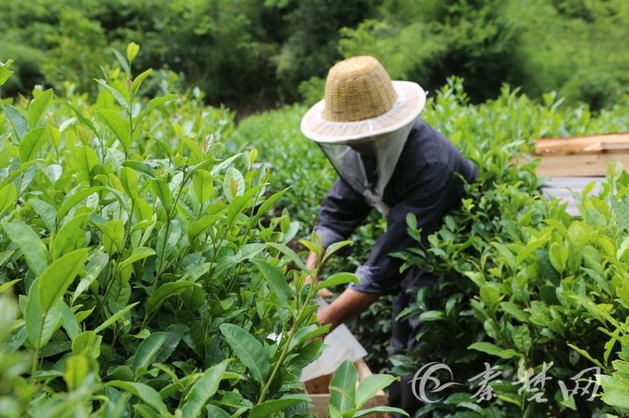 【资讯】有趣!十堰城区游客茅塔乡体验寻蜜之旅