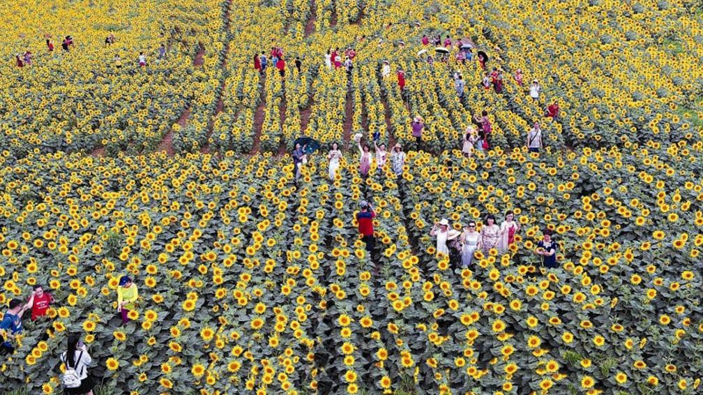 【资讯】房县2000多亩油葵花竞相开放   扮靓乡村