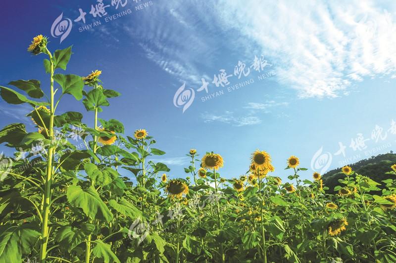 【资讯】美极了!张湾方滩乡向日葵绚烂绽放  成片花海静等你来