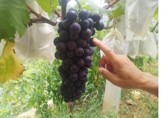 【资讯】甜蜜来袭!距市区不远的葡萄熟了!