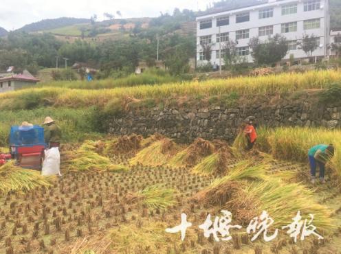 【资讯】关防乡水稻成熟了!郧西生态冷水米即将上市