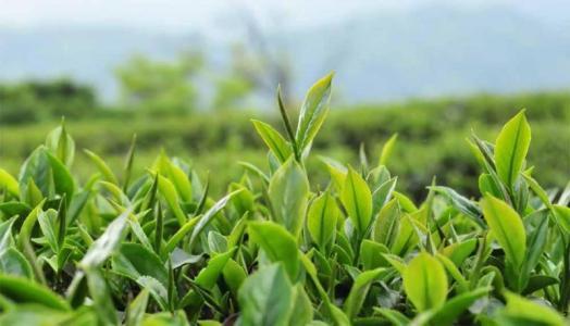 【资讯】吃茶的人有福啦!竹山今年新建茶园5.7万亩