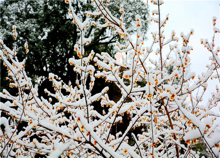 梅须逊雪三分白,雪却输梅一段香