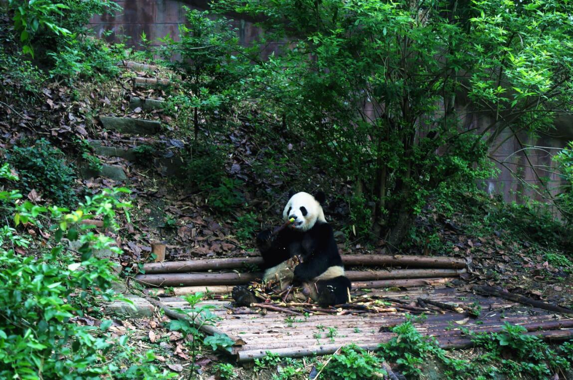 【半懒主义】成都+峨眉山+乐山大佛+大熊猫基地+黄龙溪+都江堰双飞6日游