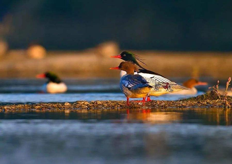 【资讯】张湾黄龙滩国家湿地公园发现野生动物10余种