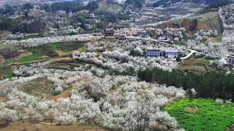 【资讯】大好春光,去房县城关镇八里村赏樱桃花!