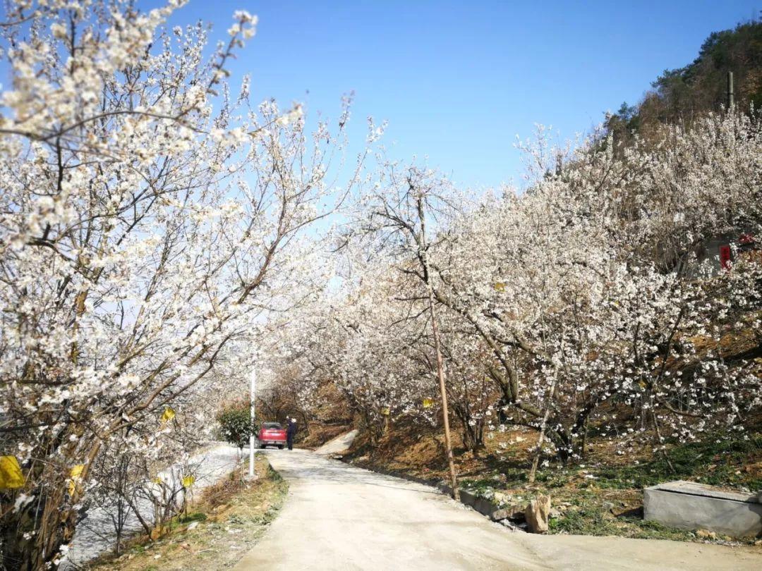 【资讯】樱桃产业落地开花 美丽乡村等你来游