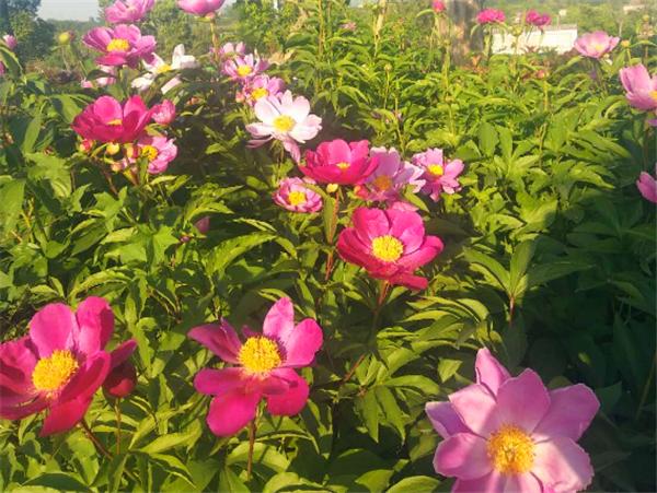 福恩牡丹园的花海美到窒息,本周末约起!