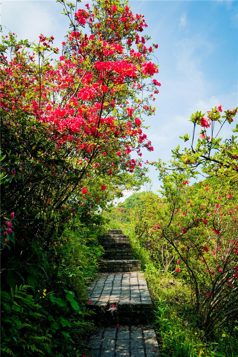 又是一年赏花季 最美不过杜鹃红