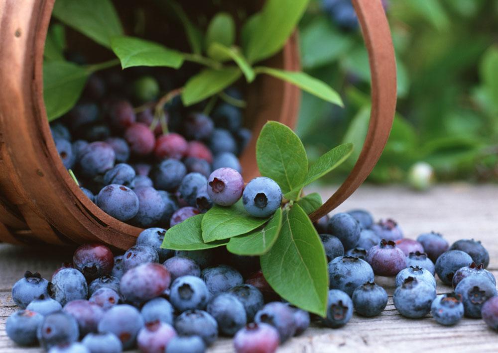 【资讯】茅箭区20余亩蓝莓即将成熟,等你来品鲜!