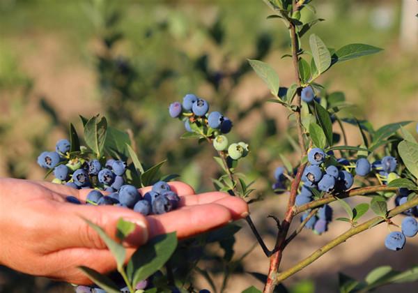 茅箭这里成片的蓝莓已成熟,5日开园采摘!