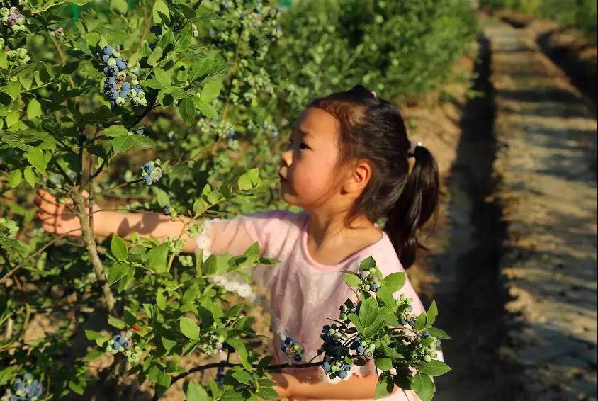 【蓝莓采摘】进园免费吃,本周六相约营子村!