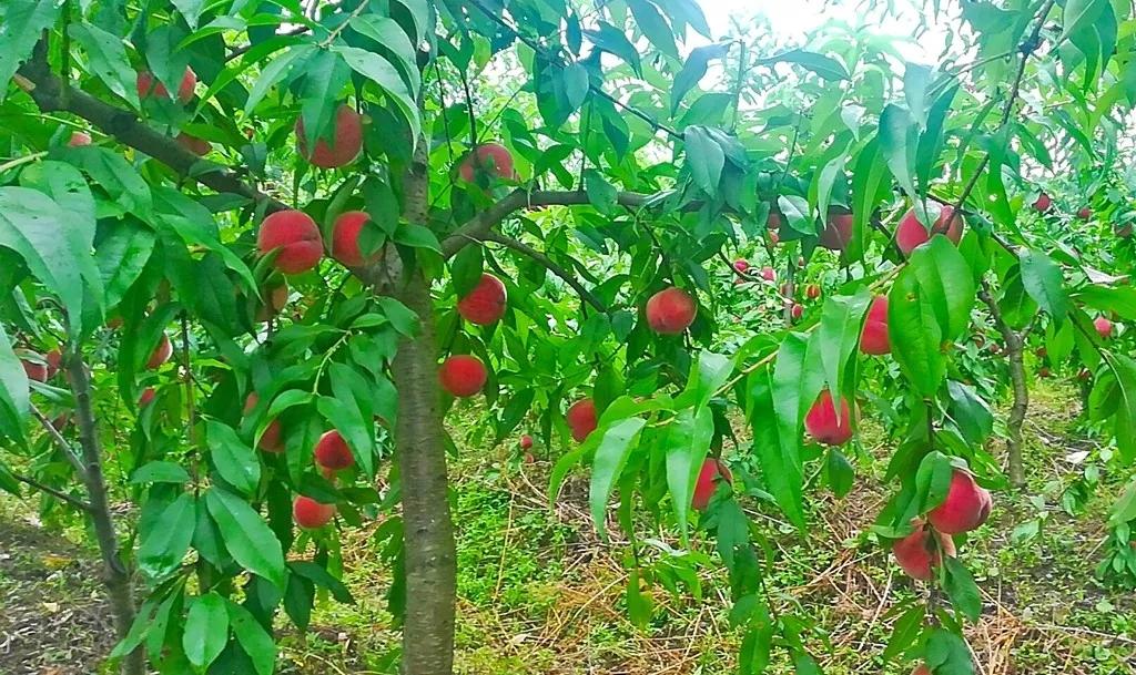 【资讯】春赏花、夏吃桃,竹溪这里有个桃花岛!