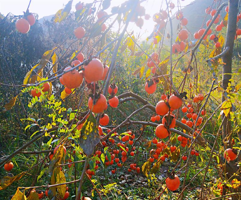 秋意浓,柿儿红