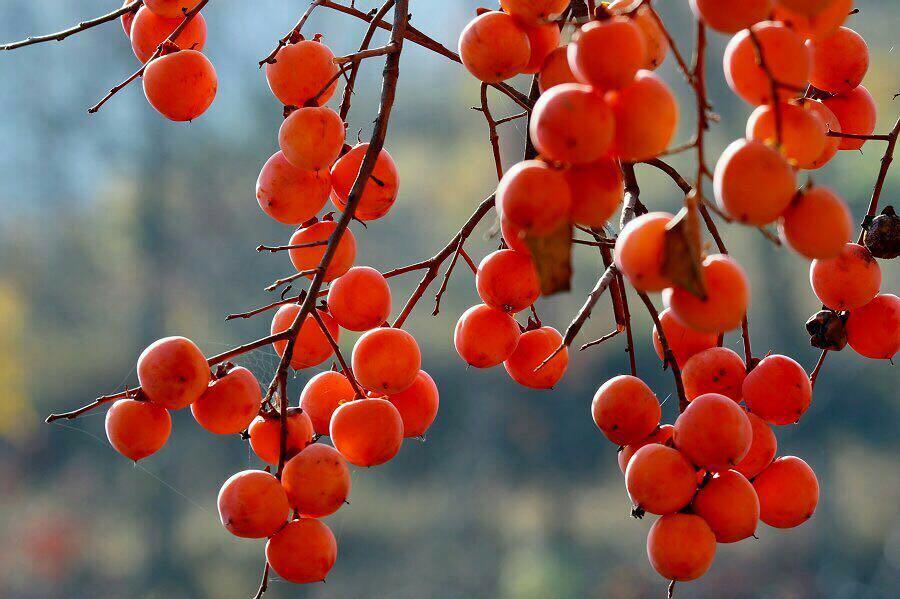秋深柿子红,赏秋就来这里吧