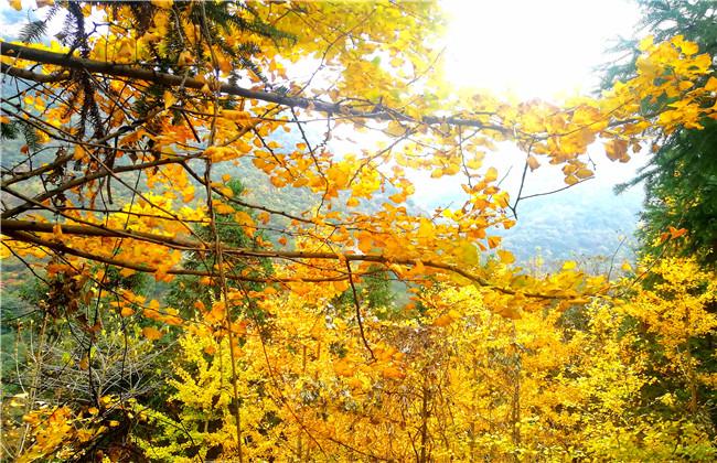 【资讯】秋冬时节,来茅箭感受银杏林成熟之美