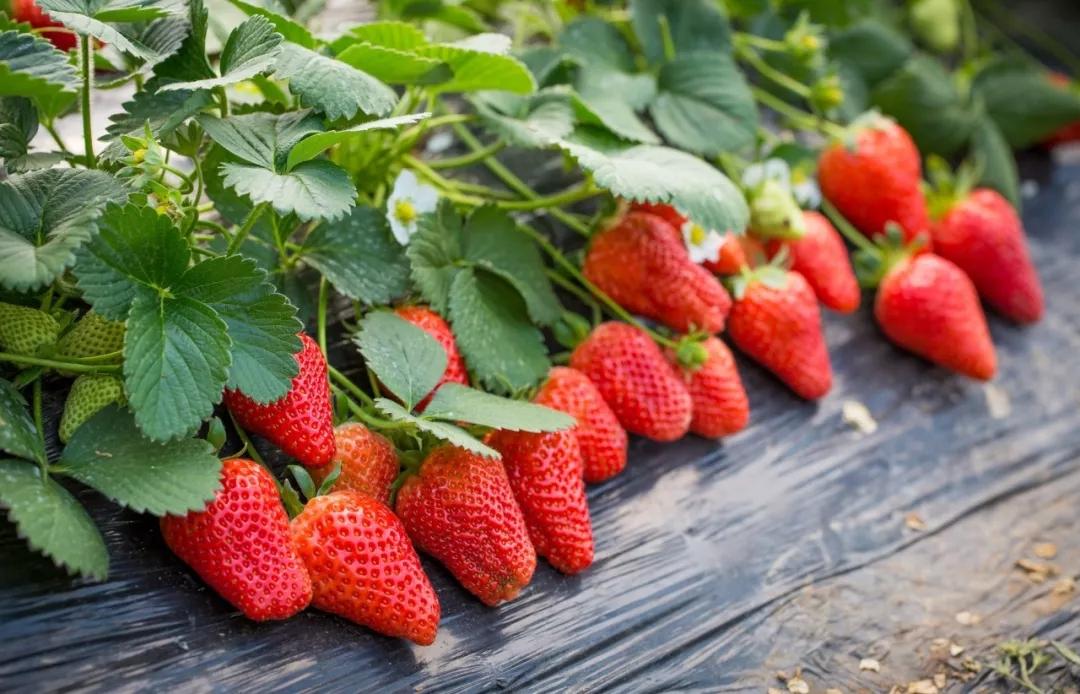 【资讯】草莓熟了!张湾这两个地方可以摘
