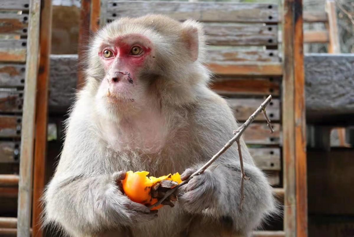 【资讯】有趣!东沟猕猴光顾农家吃起柿子