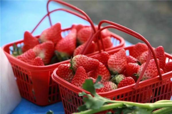 【资讯】蒿坪镇的草莓熟了,周末可以入园采摘