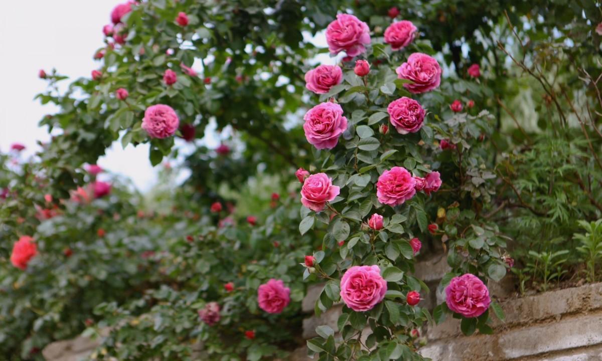 好美!茅箭这里月季花开芬芳满园