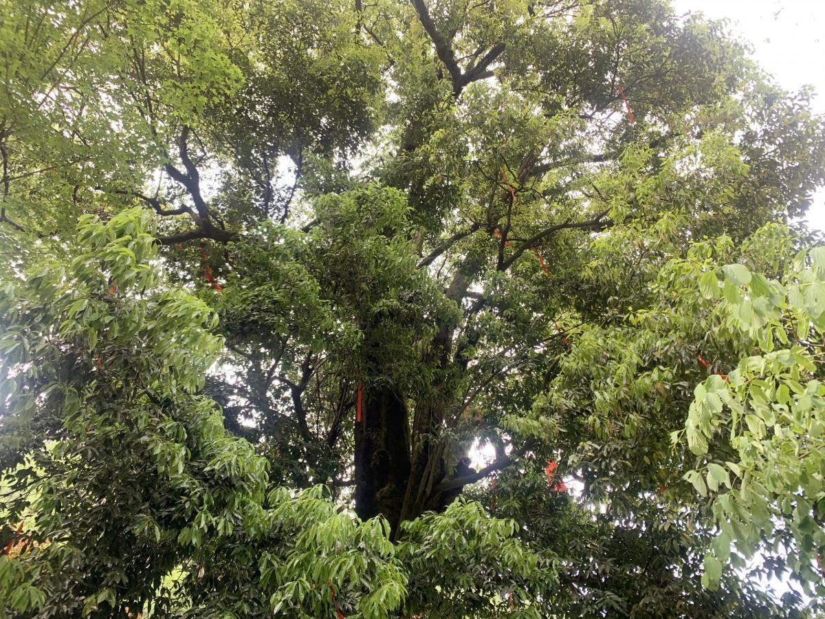 聆听老母荒百年古树的动人故事