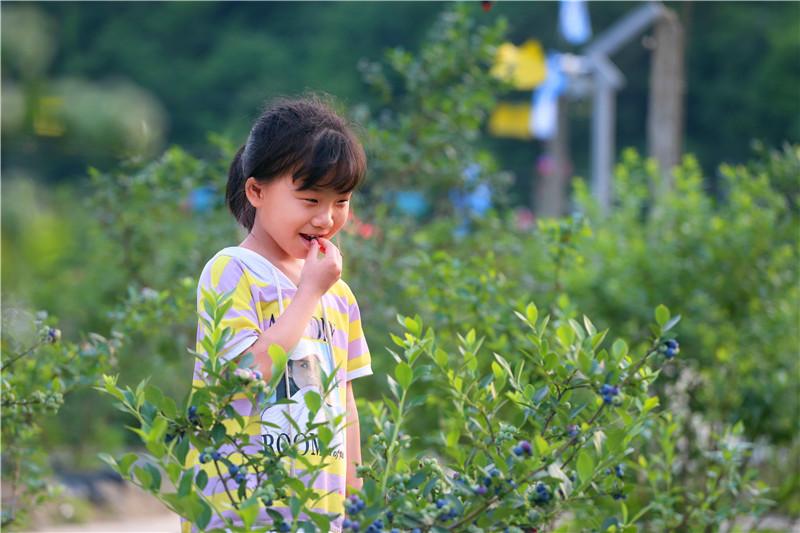 【资讯】蓝莓熟啦!快来茅箭区营子村采摘