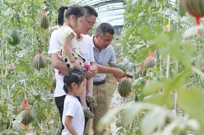 【资讯】茅箭区西瓜采摘节开启  千余名游客现场摘西瓜赏美景