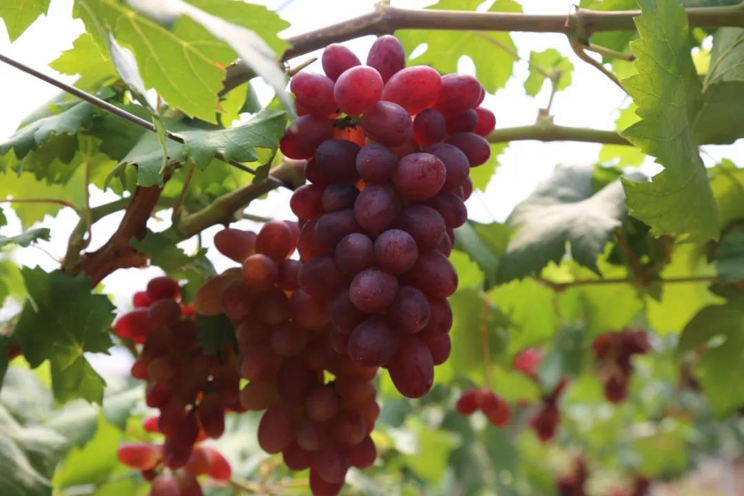 【资讯】本周六去习家店镇摘葡萄!