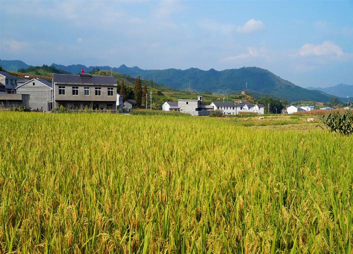 金秋喜看稻谷千重浪,贡米之乡入画来
