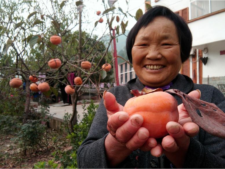 又脆又甜!茅塔乡王家村的柿子熟啦!快来采摘